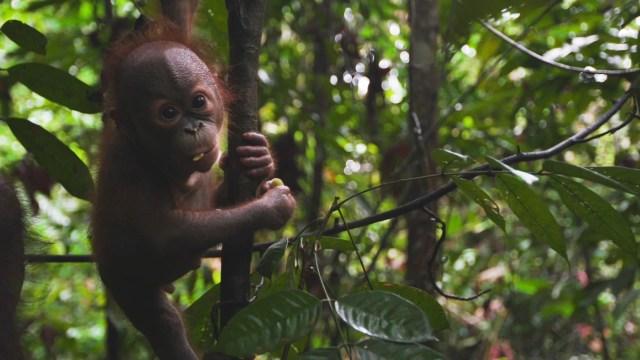 Orangutan-Gerhana-orphan-orangutan-2019
