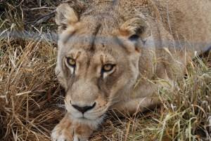 achee-the-lioness-at-born-free-shamwari