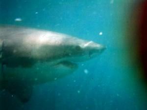 great-white-shark-swimming-under-water