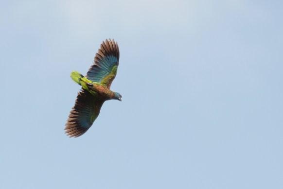 A-St-Lucian-parrot