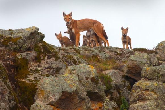 Ethiopian wolves conservation