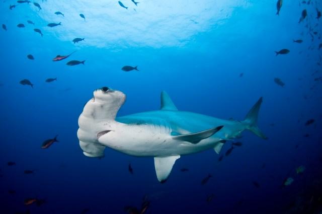 Scalloped-Hammerhead-Shark-in-ocean-water