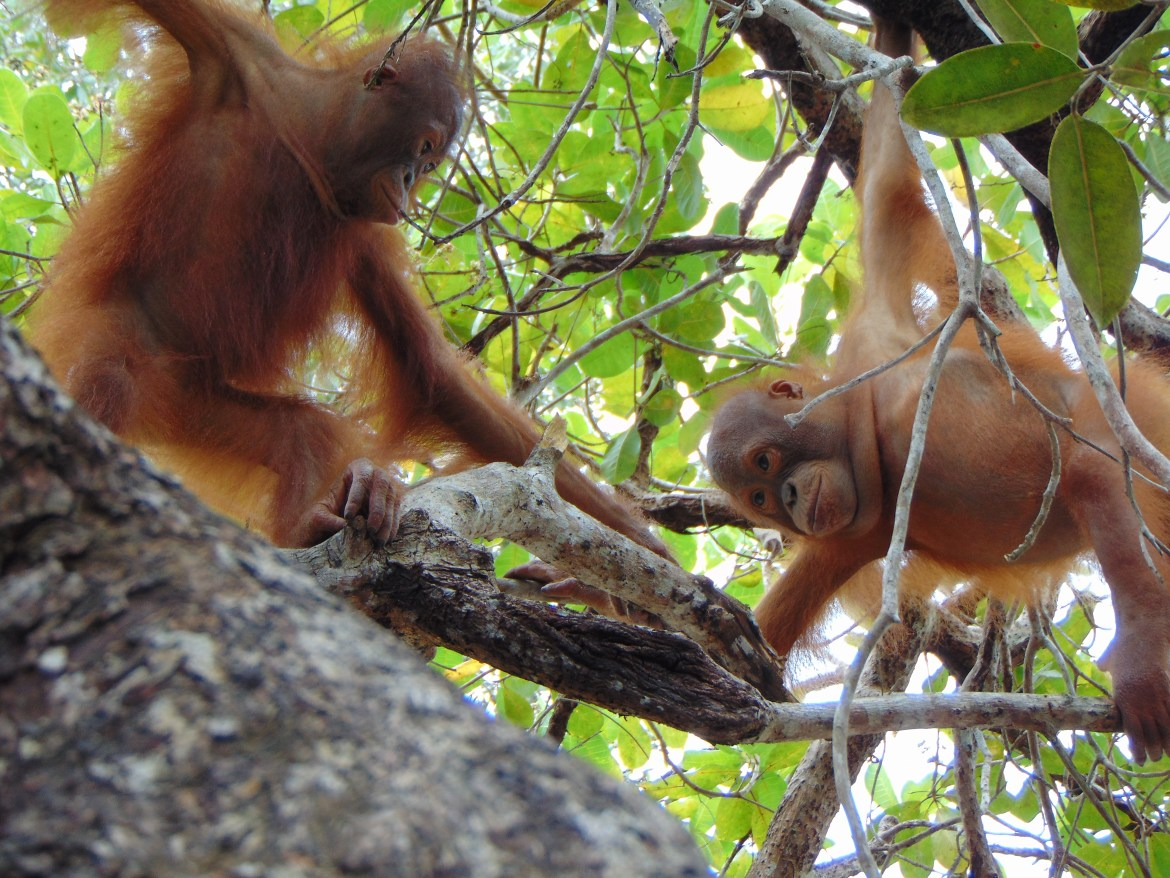 Home-schooling with a difference: Orangutans learn life lessons