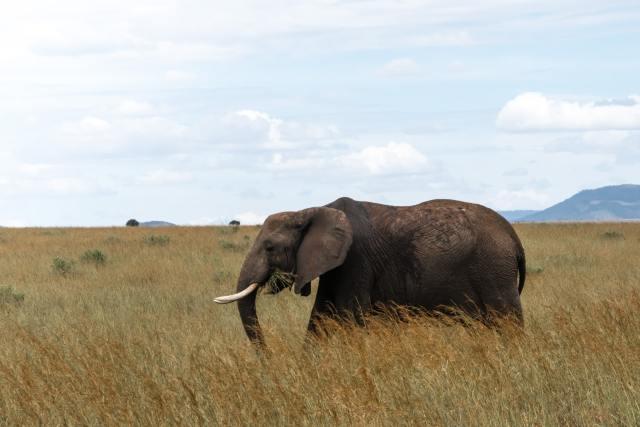 A-maasai-mara-elephant