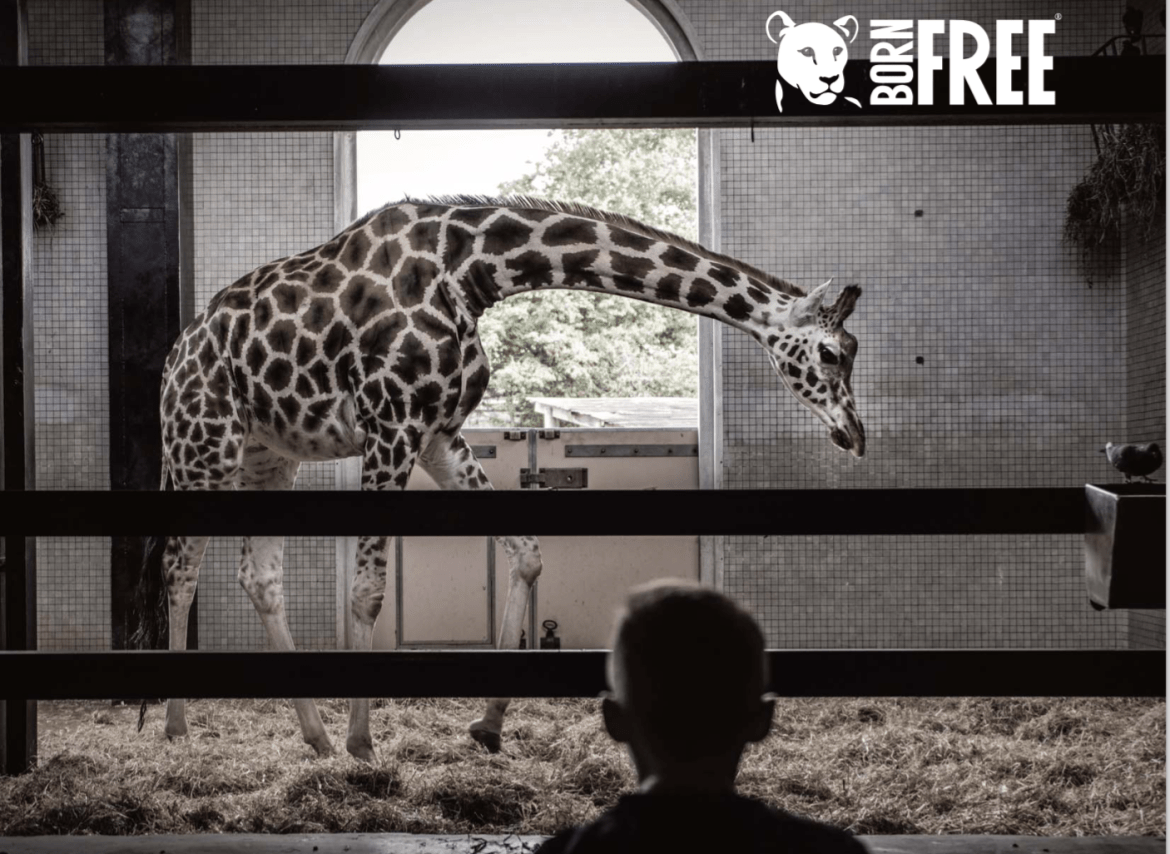 5 ways captivity is bad for giraffe wellbeing