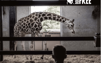 giraffe in captivity born free report