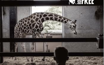 giraffe in captivity born free report