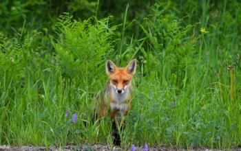 red-fox-moves-through-grass