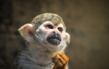 exotic pet- a tamarin sits indoors, fists clenched looking outwards