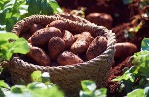 cyprus-potato-h-c17fcb7f-f234-45f3-86a2-4627a20ff725-0-472x310
