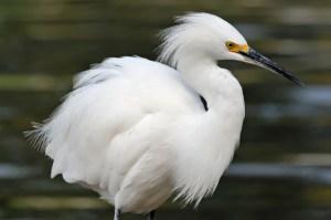 snowy-egret-fluff