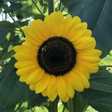 Fall Sunflower by Katie Oskin