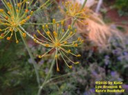 Dill Burst (dill flower