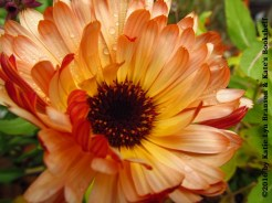Rayed Disc (calendula)
