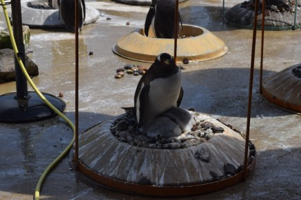 Two beautiful gentoo chicks and a parent