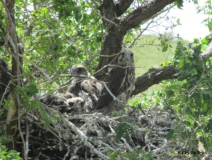 Saker falcon chicks