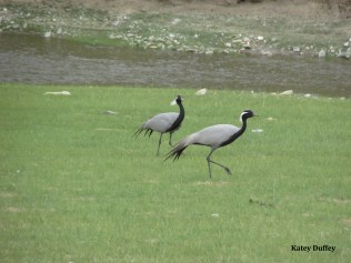 Mating pair of Demoiselle cranes
