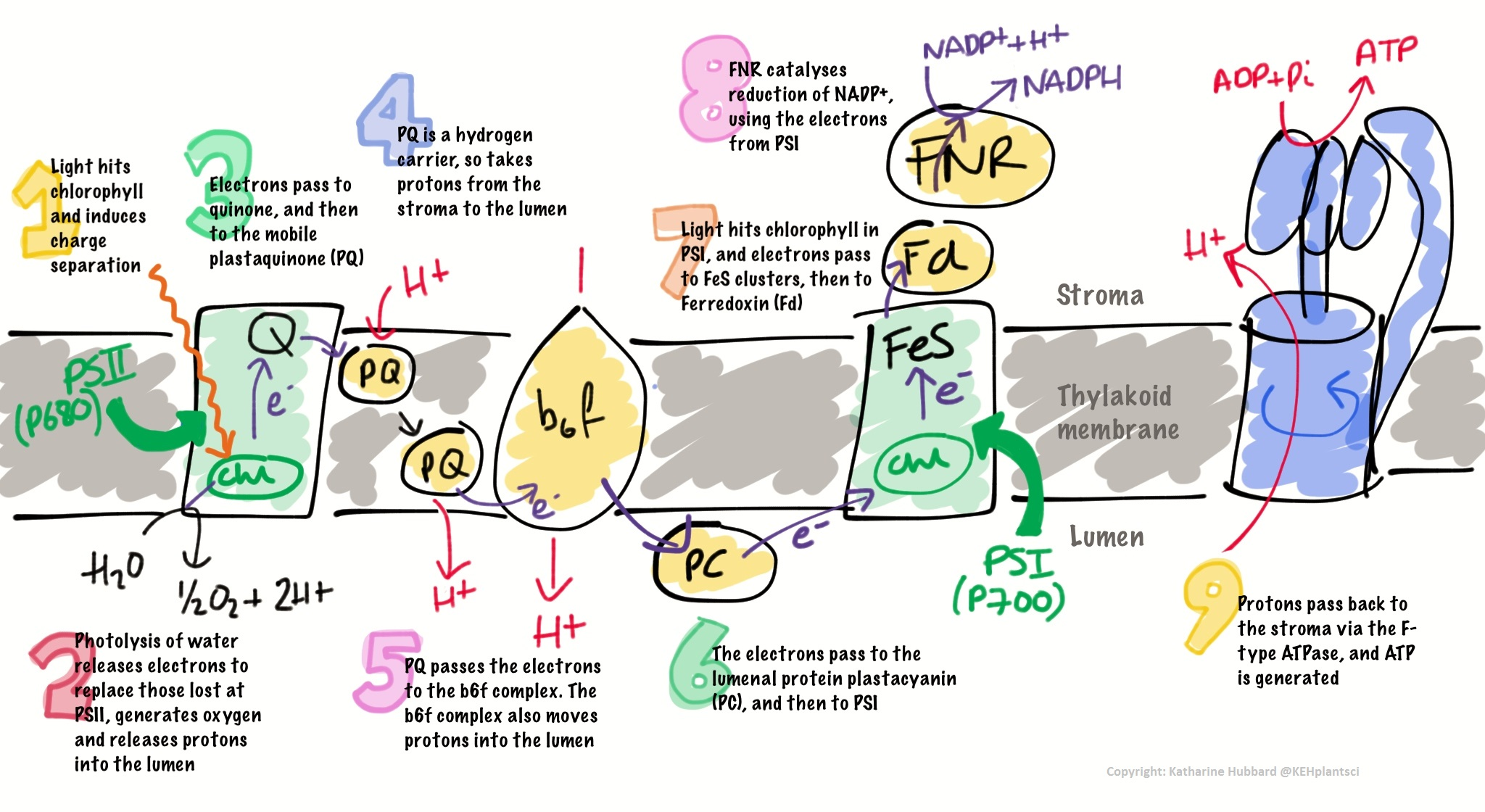 Key Concepts Photosynthetic Electron Transport Chain Dr