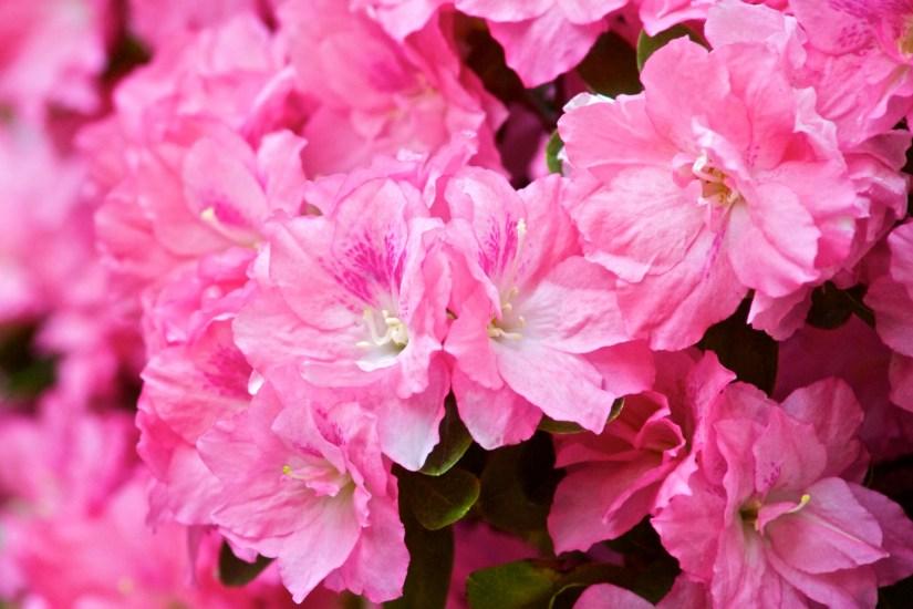 hybrid-azalea-rhododendron-1412037048y64