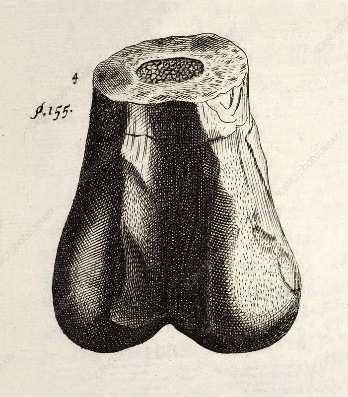 1677 First ever dinosaur bone Robert Plot