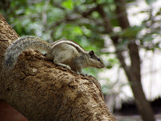indian-palm-squirrel-on-trees