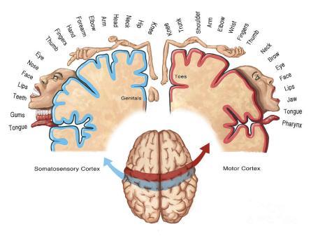 Motor Cortex Map