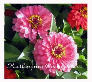 pink gerbers katherines corner