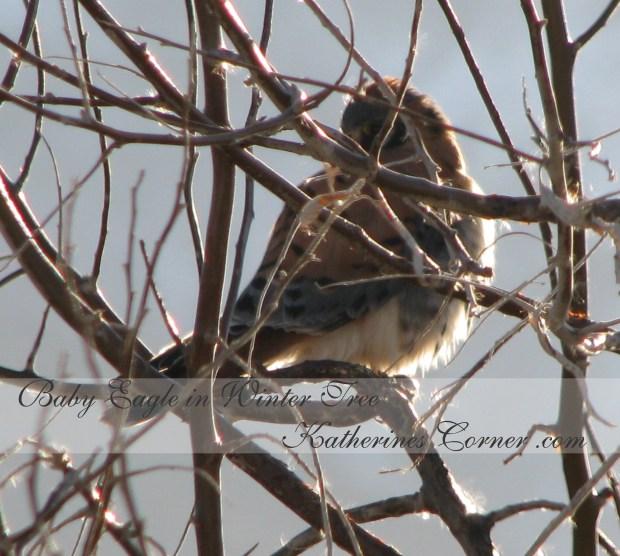 baby eagle in winter tree katherines corner