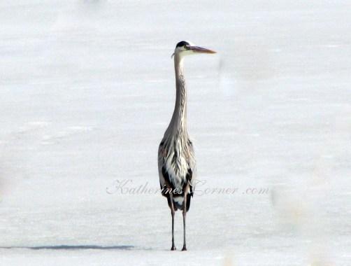 heron in snow Utah Katherines Corner