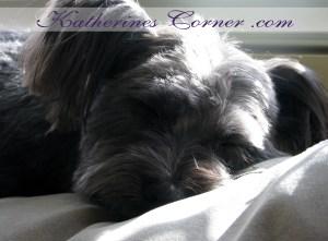 sleeping schapso dog in the sun photograph