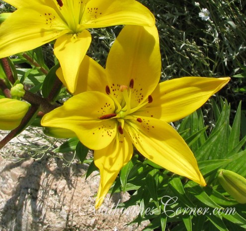 yellow lily katherines corner