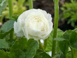 container growing ranunculus