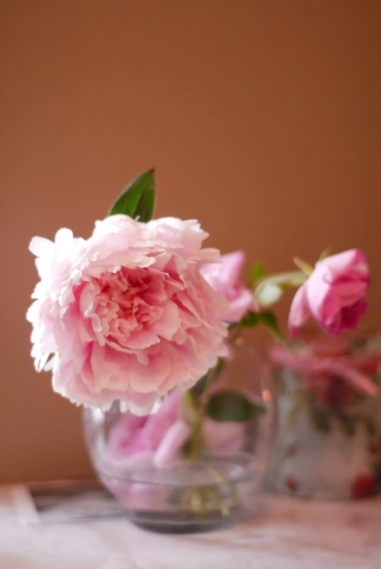 peonies in a bubble vase