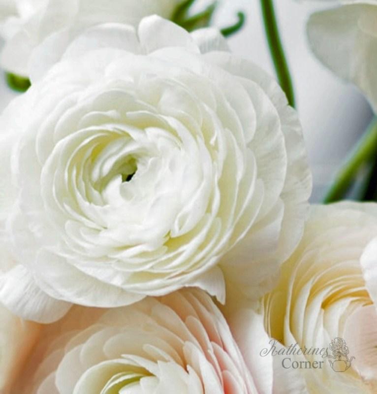 white ranunculus flower katherines corner
