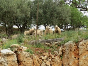 The sheep near Prina were as curious about us as we were of them.