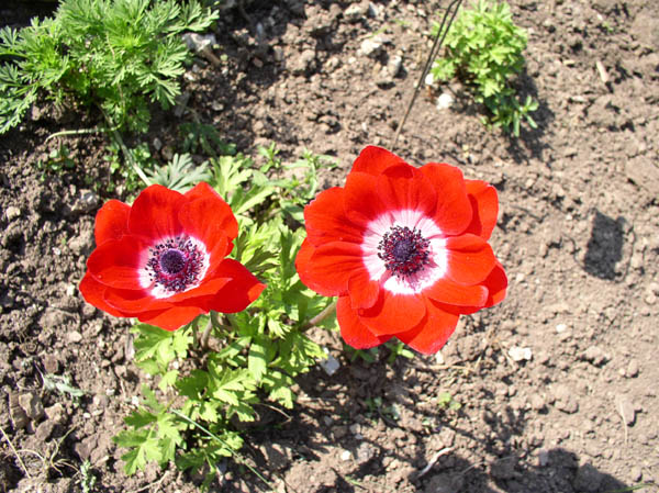 Anemones at Sunwise Farm & Sanctuary by Kathleen O'Brien