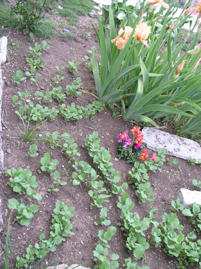 Baby Kale at Sunwise Farm & Sanctuary by Kathleen O'Brien