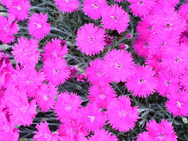 Dianthus at Sunwise Farm & Sanctuary by Kathleen O'Brien