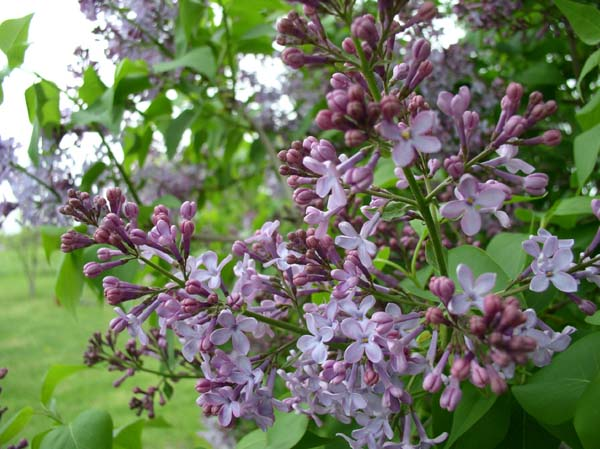 Looking Back on Lilac Time