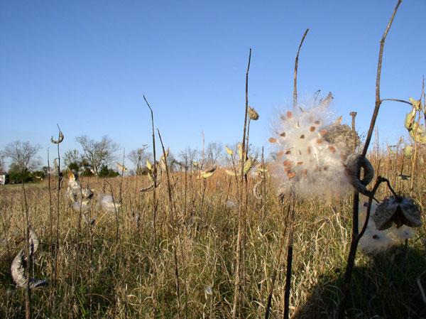 Milkweed Field at Sunwise Farm & Sanctuary, Fall 2015