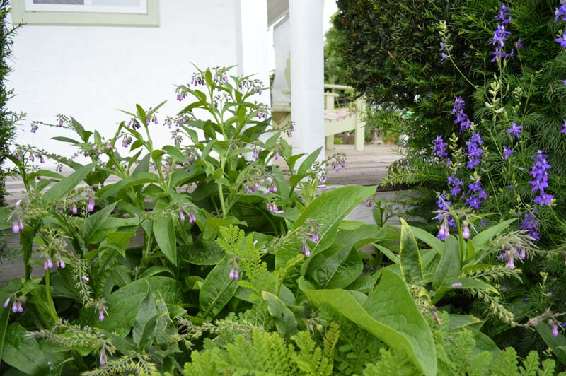 Comfrey and Larkspur at Sunwise Farm and Sanctuary