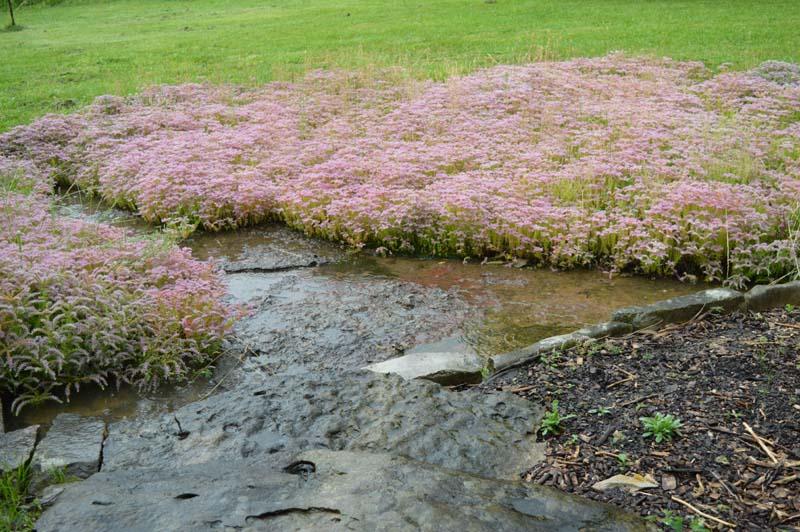 sedum around the wet, dry creek at Sunwise Farm and Sanctuary