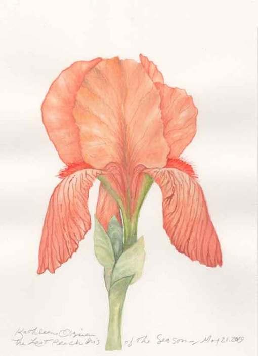 01 Last Peach Iris of the Season, ©Kathleen O'Brien