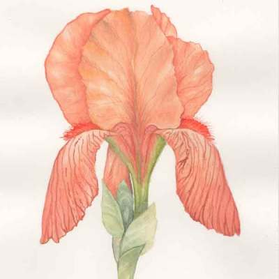 01 Last Peach Iris of the Season, ©Kathleen O'Brien