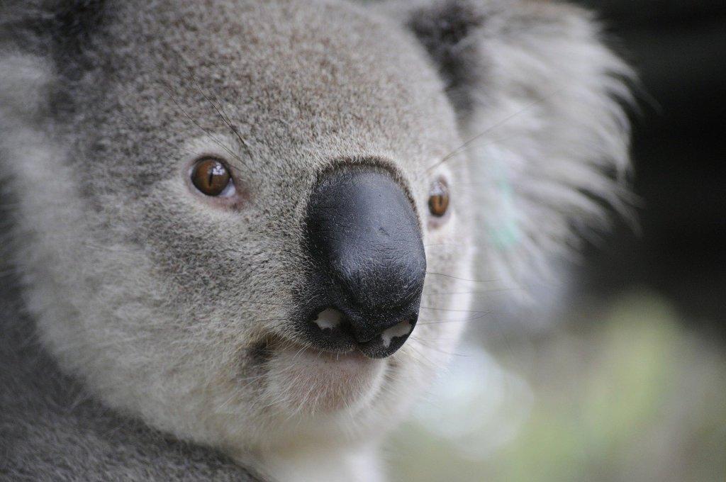 Close-up photo of the face of a soft, fuzzy koala bear in Australia.