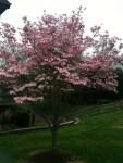 East Coast Pink Dogwood