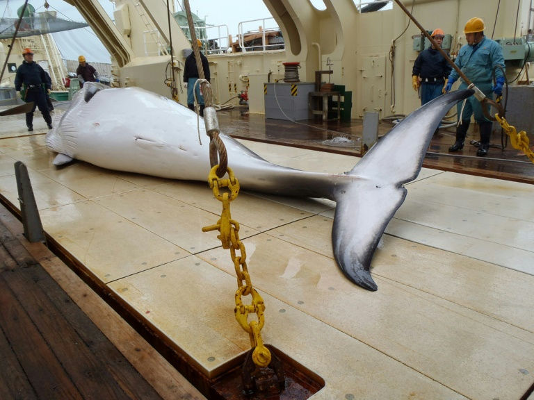 'It's barbaric': Vision of Japanese whaling released after suppression order lifted
