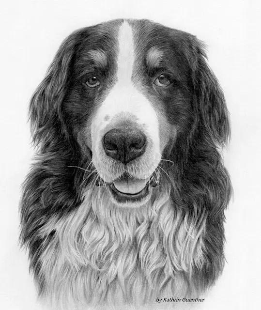 Bernese Mountain dog by Kathrin Guenther, graphite art, pet art