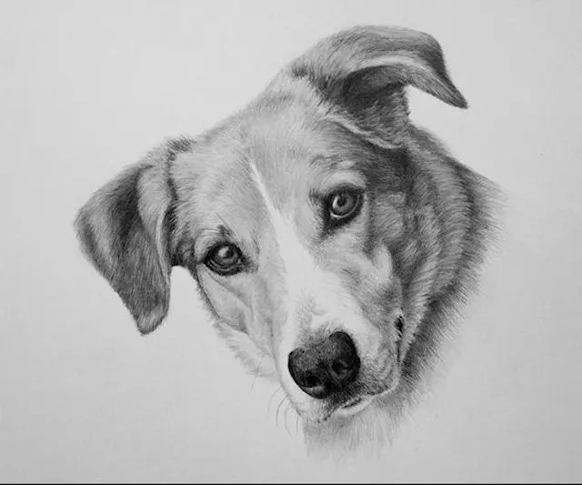 Boo, dog portrait, graphite drawing, Kathrin Guenther, web file
