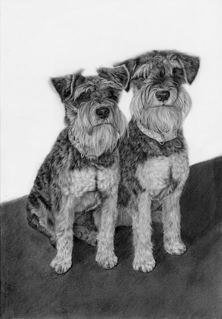 graphite pet portrait, Miniature Schnautzer dogs, drawing by Kathrin Guenther, canine, art, graphit